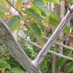 Planter un érable à écorce