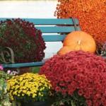 La semaine des chrysanthèmes