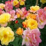 Les roses plus faciles