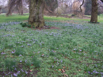 tapis-de-chionodoxas-jardins-hoegaarden