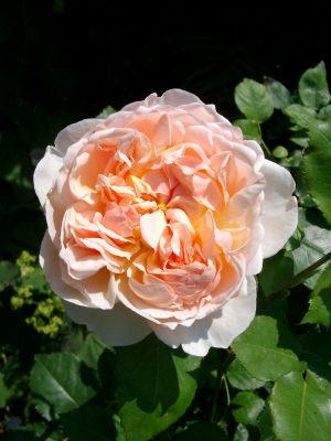 rose-inconnue2