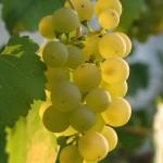 Bouturer la vigne