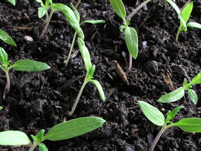 Au jardin comment viter la fonte des semis - Comment semer des tomates ...