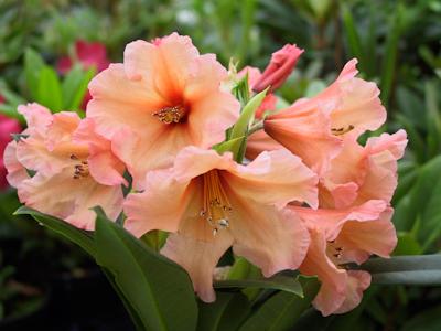Au jardin comment planter un rhododendron - Comment planter un rhododendron ...