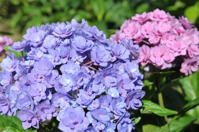 Au jardin comment garder des hortensias bleus - Comment bouturer un hortensia ...