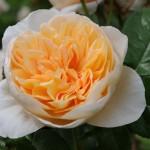 Créer une rose