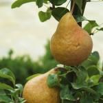 Les arbres fruitiers sont greffés