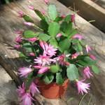 Faire fleurir le cactus de Pâques