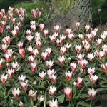 Un nouveau massif de tulipes
