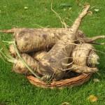 Le panais, un légume à redécouvrir