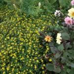 Des plantes annuelles couvre-sol