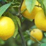 Un citronnier sur la terrasse