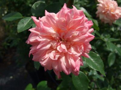 rosa-paul-transon