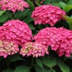 Des hortensias qui fleurissent