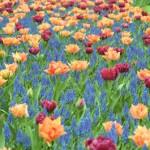 Keukenhof, le jardin des tulipes