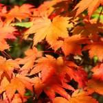Pourquoi les érables japonais meurent