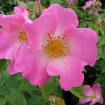 Un rosier à planter au jardin