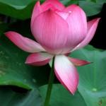 Des lotus dans la véranda