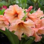 Comment planter un rhododendron