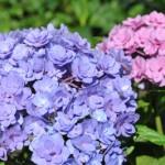 Comment garder des hortensias bleus ?